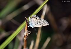 Ceraunus Blue (underwing) (zeesstof) Tags: butterfly ceraunusblue containmentpond hemiargusceraunus insect naturewalk sterlingridge texas thewoodlands zeesstof