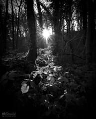 Shed a little light (Steve Whitham - BGphotography) Tags: lightray beam sun burst star light shine anstonstones worksop northanston woods woodland foliage groundcover nature