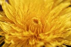 Heart of dandelion - Coeur de pissenlit (Sébastien Vermande) Tags: canon7d france midipyrénées lot bokeh flower fleur pollen pistil nature wild macro hiver winter macrophotography macrolens macrophotographie sigma150mm28exdg sigmaapoteleconverter14xexdg vermande