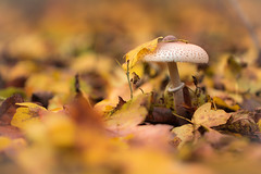Colors of Autumn (regisfiacre) Tags: champignon mushroom pilse autumn automne macro canon 100mm nature forêt forest woods bois france moselle bokeh autofocus