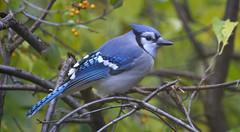 Blue Jay (Ruahine Tramper) Tags: usa blue jay bird 300mm cape cod wellfleet