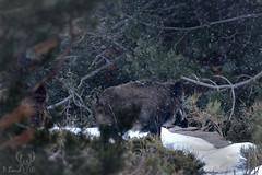 Deux sangliers sous la neige (Patrice Baud) Tags: sanglier sus mammifère montagne pyrénées cerdagne nikon d5100 nikkor300f4 wild wildlife pig boar eber wildschwein verraco verro susscrofa