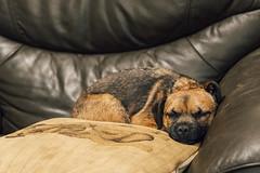 Snoozin' (bassvolumetreble) Tags: nikon d810 2470 2470mm f28 dog pup puppy cushion sofa relaxing chillin chilling sleep sleeping snoozing snooze snoozin border terrier borderterrier