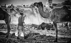 Camel music (Padmanabhan Rangarajan) Tags: pushkar camels cattle herders india rajasthan rural grounds
