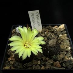 Frailea perbella HR81 '10005' (Pequenos Electrodomésticos) Tags: cactus cacto flower flor seedling sementeira frailea fraileaperbella