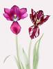 Tulips (brianrosshaslam) Tags: tulips redmatrix