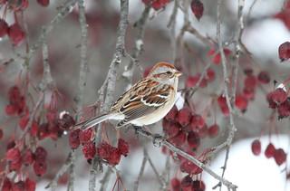 *** American tree sparrow /  Bruant Hudsonien