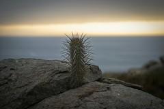Cactus en una piedra (franColors) Tags: cactus nature coquimbo chile sunset naturaleza rock piedra roca