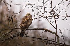 Teddy (Dex Horton Photography) Tags: northernharrierhawk wing face lummiflats lummi washingtonstate wildlife bird birdsofprey perch rain hunter hunted whatcomcounty bestof dexhorton