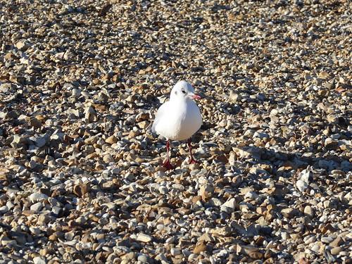 Common Gull, Whitstable