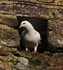 Dove, There's no place like home (g_and_t_photography) Tags: dove bids naturewildlife whitedove britishbirds perchng