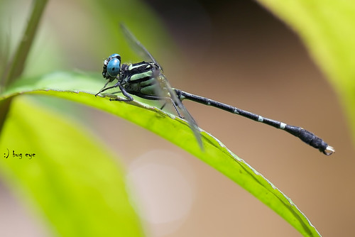 Microgomphus thailandica(Asahina,1981) / แมลงปอเสือน้อยไทย