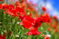 "The Catcher in the poppies. May 2014 (Smo_Q) Tags: trip maki sigma poland polska poppies polen 50 polonia польша 波兰 ポーランド 폴란드 sigma50f14 ""pentax k5"""