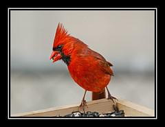 northern cardinal/cardinal rouge (davejv) Tags: birds lasalle qubec northerncardinal cardinalrouge