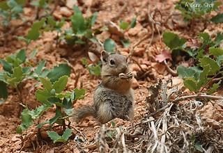 Ground Squirrel (in Explore)