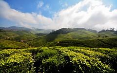 India - Kerala - Munnar - Tea Plantation - 20 (asienman) Tags: india mountains kerala hills teafactory teaplantation munnar teapicker asienmanphotography teaplantagens