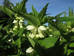 Lamium album (aniko e) Tags: lamium lamiaceae lamiumalbum weisetaubnessel fehérárvacsalán white flower herb medicine edible plant meadow diversity árvacsalán zamilapark