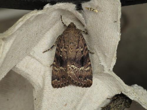 Amphipyra berbera