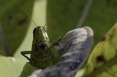 happy hopper (sealcats) Tags: macro grasshopper