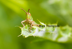 Grass Hopper (M Thompson Photography) Tags: nature grasshopper yahoo:yourpictures=nature