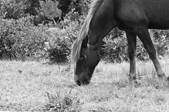 Wild Pony (A. Linton) Tags: ocean new wild summer vacation blackandwhite hot beach weather animal outside eating explore eat pony experience grayscale popular humid