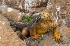 Ecuador Galapagos DSC_1734 (Bogdan Utza) Tags: holiday animal america landscape tiere ecuador nikon south urlaub galapagos landschaft bogdan d800 rundreise 2014 wildlif sdamerika utza