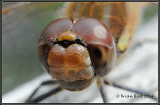 Common Darter close-up