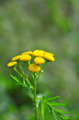 Common Tansy (Tony Steele,Oxford,UK) Tags: burgessfieldnatureparkoxford tonysteelephotography commontansy