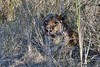 DSC_1827 (Arno Meintjes Wildlife) Tags: africa nature animal southafrica wildlife lion safari krugerpark pantheraleo arnomeintjes