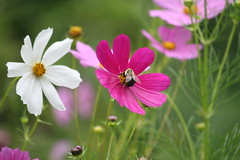 Cosmos and Bee (eyriel) Tags: pink white color macro nature bug insect wildlife bee