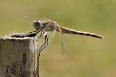 Dragonfly (luporosso) Tags: naturaleza macro nature closeup nikon dragonflies dragonfly natura libellula naturalmente nikond300s