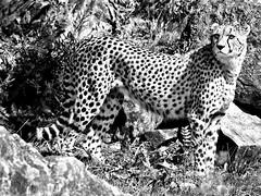 Gepard - Cheetah (Gjesdal.org) Tags: norway zoo nikon cheetah kristiansand gepard acinonyxjubatus dyreparkenikristiansand vestagder d7100 sigma150500mmf563apodgoshsm topazdetail topazremask topazbw