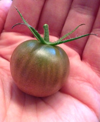 """The first ripe Black Cherry Heirloom Tomato of the season! • <a style=""""font-size:0.8em;"""" href=""""http://www.flickr.com/photos/54958436@N05/14968729072/"""" target=""""_blank"""">View on Flickr</a>"""