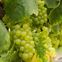 Wine To Be (rschnaible) Tags: california county ca food usa white west green fruit vineyard wine farming sonoma harvest vineyards grapes western production norcal northern grape agribusiness argiculture
