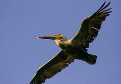 Majesty (TJ Gehling) Tags: bird flight pelican brownpelican richmondmarina birdinflight marinabay pelecanus pelecanusoccidentalis birdflight