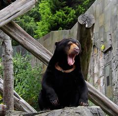 Zoo_Sunbear1 (annymorel89) Tags: bear animals zoo meerkat edinburgh