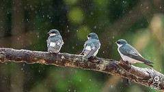 Bajo la Lluvia (Jorge De Silva R) Tags: rio de la aves mangrove swallow chiapas reserva montes azules tachycineta biosfera albilinea tzendales