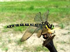 super waka (jarek.marciniak) Tags: dragonfly samsung dolina owad waka kulawy dolinakulawy galaxys5