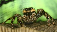 Tan jumping spider ? on a fossil - Catskill Mountains, NY (superpugger) Tags: jumpingspider spiders lawrencepugliares lpugliares spider arachnid animals wildlife newyorkstatewildlife
