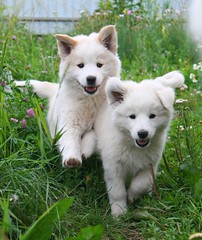IMG_4399 (riki_tiki_myu) Tags: summer dog white cute dogs puppy countryside puppies village samoyed small country colourful samoyeds