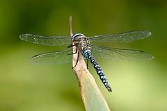 Ready for Liftoff......... (klythawk) Tags: nottingham blue summer brown black green reed nature beige dof dragonfly olympus panasonic naturereserve omd em1 wildlifetrust 100300mm migranthawker aeshnamixta sssi wilfordclaypit klythawk