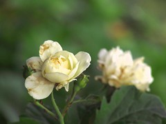One of two (kamirao) Tags: pakistan two white flower macro green nature beautiful rose bokeh pair