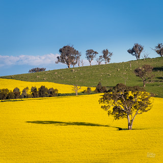 Country Canola