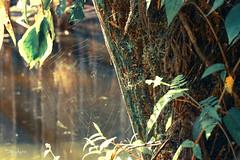 (33 Photography) Tags: light shadow lake forest spiderweb surface cobweb  lightandshadow nantou         lakesurface nantouhsien