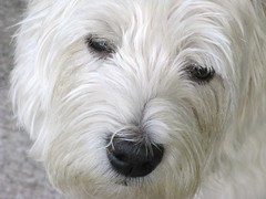 """9/12A ~ """"Lovable Riley"""" (ellenc995) Tags: face closeup riley westie westhighlandwhiteterrier coth supershot abigfave rubyphotographer 100commentgroup challengeclub coth5 ruby10 ruby5 ruby15 thesunshinegroup sunrays5 12monthsfordogs14"""