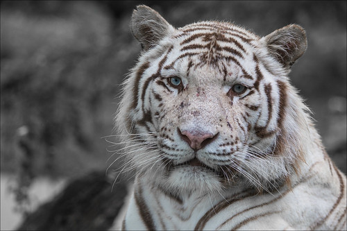 White Tiger Variation6