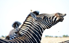 Zebras (philnewton928) Tags: nature animal southafrica wildlife safari zebra krugernationalpark kruger burchellszebra mopani nikond5100