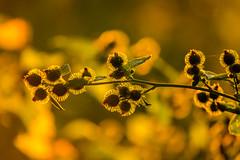 Sunshine on a stick (@KevHatcher) Tags: sunshine yellow canon 70200mm 5dmkiii