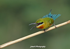 Blue Talled Bee Eater (Jawad_Ahmad) Tags: blue pakistan light wild green bird nature water beautiful beauty birds animals lunch photography natural time bokeh wildlife birding flight bee punjab lying tailed eater naturelover sialkot jawads naturesphotography birdsphotography birdsphotographer