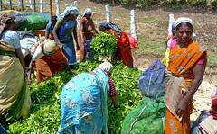 India - Kerala - Munnar - Tea Harvest - 101 (asienman) Tags: india mountains kerala hills teafactory teaplantation munnar teapicker asienmanphotography teaplantagens